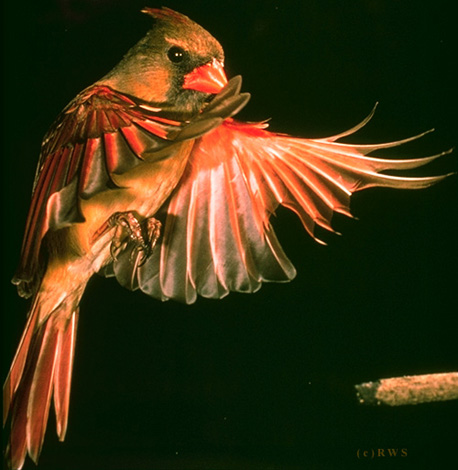 Female cardinal in flight - photo#2