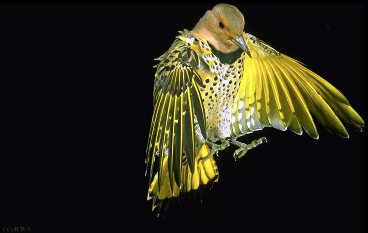Yellow flicker bird - photo#12