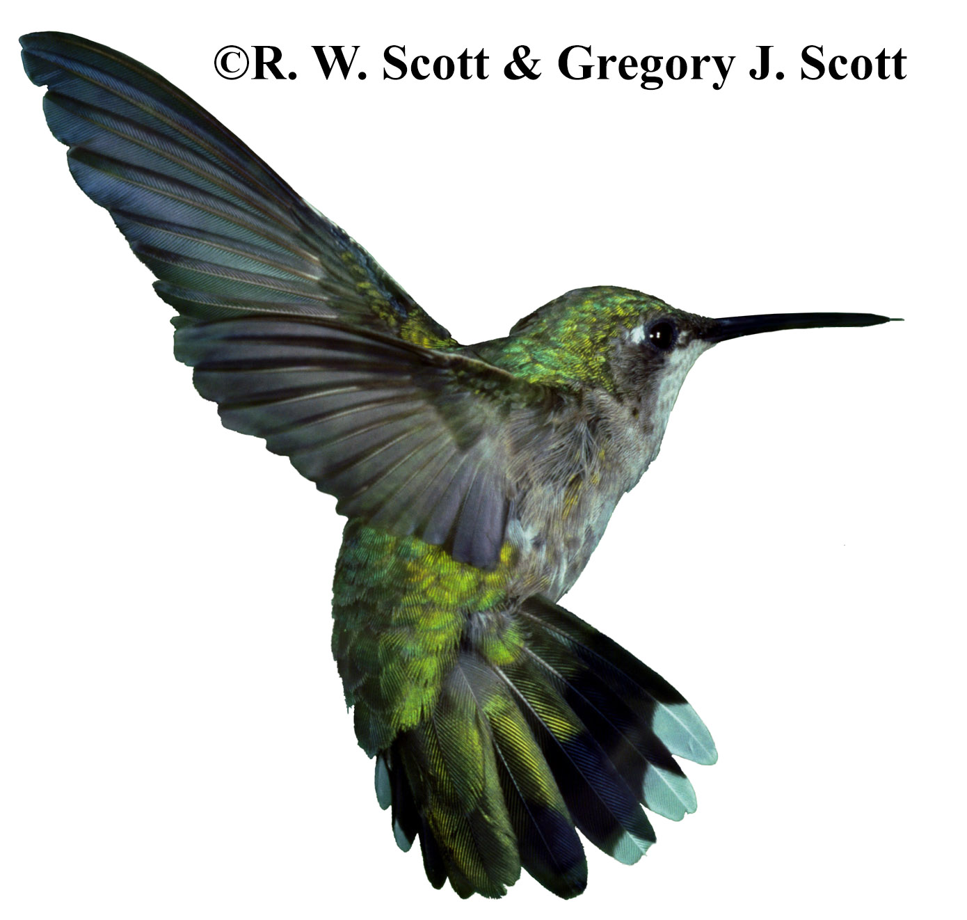 "Scott ""Birds in Flight"" All photos (C) 1997, 1998 Gregory J ..."